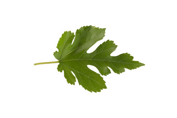 Mulberry (Morus nigra) leaf isolated on a white background.