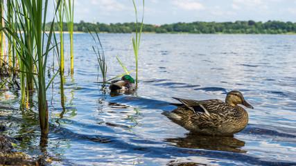 Ducks on a sunny summer day