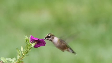 Fotoväggar - Ruby-throated Hummingbird (archilochus colubris) in flight at a flower with a colorful background
