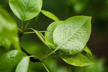 Pear leaves with raindrops