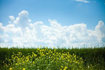 biofuel, canola field, rape, energy, renewable, Russia