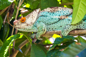 Beautiful camouflaged chameleon in Madagascar, presumably the Parsons chameleon (Calumma parsonii)