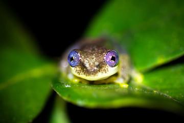 Reed frog, presumably Betsileo Reed Frog (Heterixalus betsileo), in Andasibe Mantadia National Park, Madagascar.
