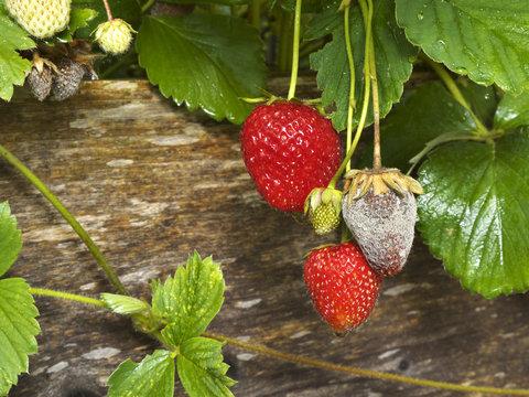 Botrytis Fruit Rot or Gray Mold of strawberries