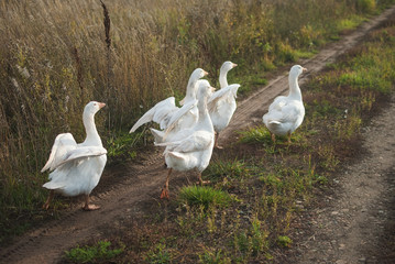 Five white gooses run to the sunlight