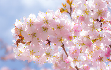 Cherry blossom in spring under blue sky