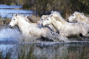 Europe, France, Ile de la Camargue. Camargue Horses (Eguus caballus)