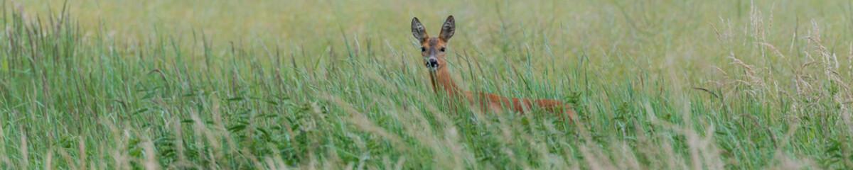 Panorama - Ein Reh (Capreolus capreolus) versteckt sich im hohen Gras und sichert die Umgebung
