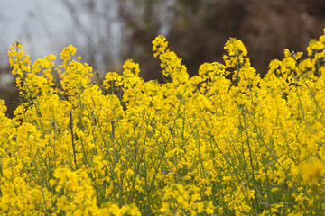 Close up Image of a rapeseed field.Selective focusing shot of a blooming rapeseed field at spring.Rapeseed field closeup,