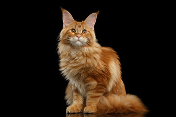 Foto op Plexiglas Kat Beautiful Red Maine Coon Cat Sitting with Large Ears and Looking in Camera Isolated on Black Background, Front view