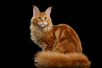 Foto op Plexiglas Kat Beautiful Red Maine Coon Tabby Cat Sitting with Large Ears and Furry Tail Looking in Camera Isolated on Black Background, Side view
