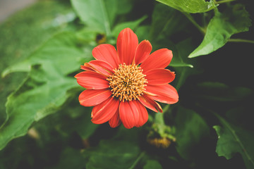 Red Mexican Sunflower in the garden