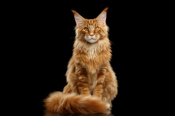 Spoed Fotobehang Kat Beautiful Red Maine Coon Cat Sitting with Large Ears and Furry Tail Looking in Camera Isolated on Black Background, Front view