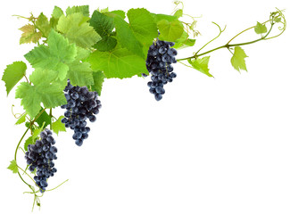 grappes de raisin noirs et vigne, fond blanc