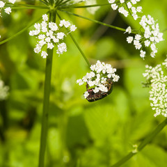 Green Rose Chafer, Cetonia Aurata, feeding on white flowers of Bishop's weed, macro, selective focus, shallow DOF