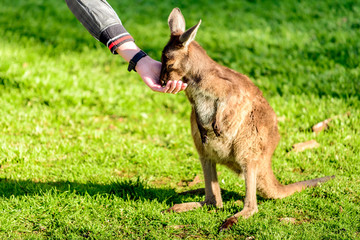 Feeding kangaroo from hand