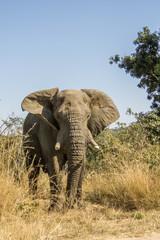 african bush elephant in savannah, in Kruger National Park
