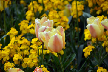 colorful photography of flowering yellow tulips in spring