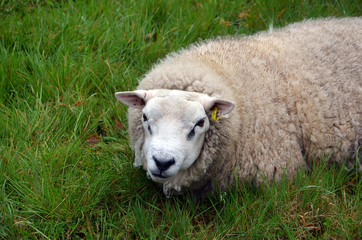 white sheep lying on green grass detail photography