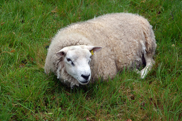 one sheep lying on the grass photography