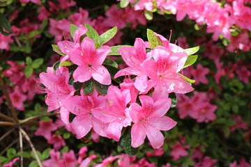 """Pink """"Rhododendron"""" flowers in St. Gallen, Switzerland. Rhodies are national flowers of Nepal."""