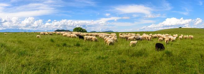 Pieniny - wypas owiec