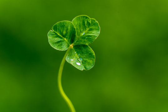 Clover leaf with water drops