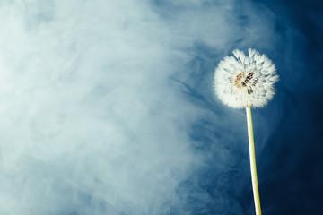 Canvas Prints Dandelion dandelion flower on fog background