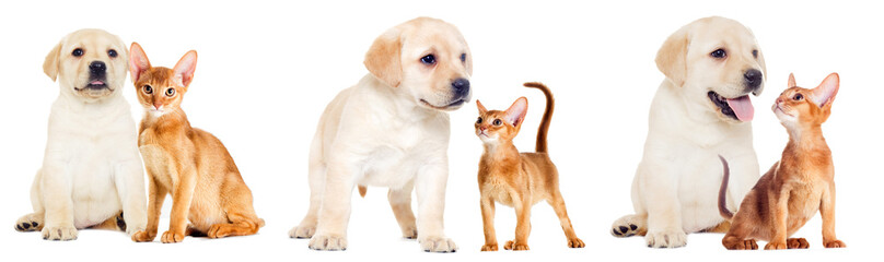 labrador puppy and Abyssinian kitten looking