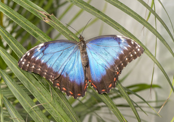 Blue morpho Butterfly on a plant
