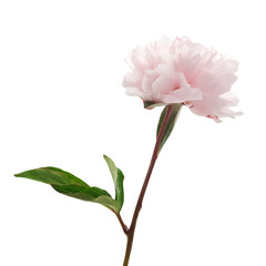 Light pink peony isolated on white