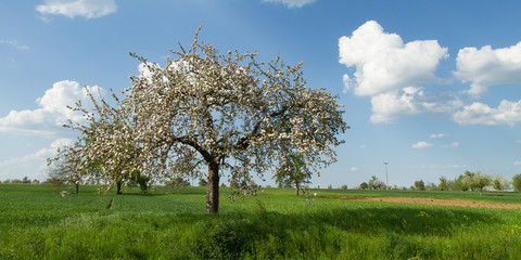Obstbaum