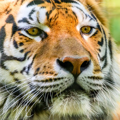 Wild Young Tiger (Panthera Tigris) Portrait