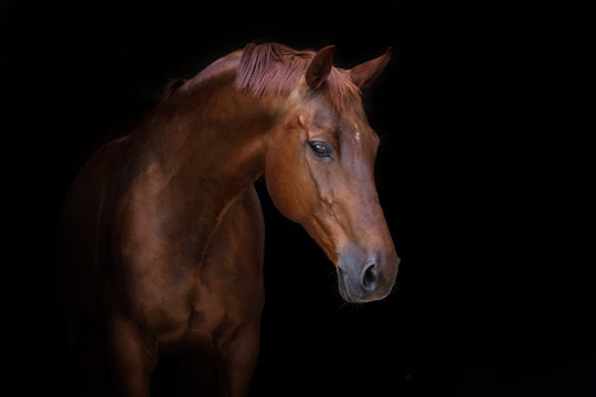 Beautiful red horse portrait on black background