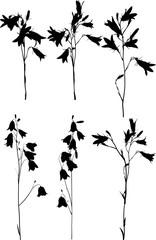 six black campanula flowers on white
