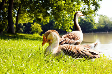 gooses on the grass