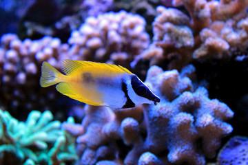 Foxface rabbitfish in Tropical aquarium