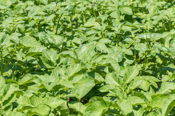Potatoes plants.