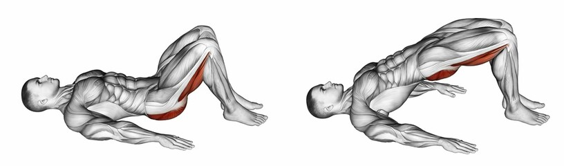 Bridge lying. Exercising for bodybuilding Target muscles are marked in red. 3D illustration