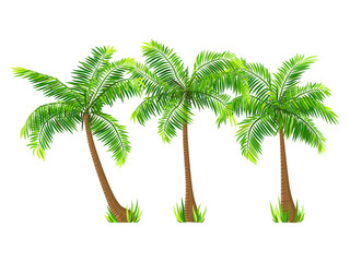 Exotic tropical coconut palm trees set, isolated on white background. Vector illustration