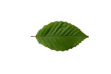 Hornbeam leaf isolated on a white background.