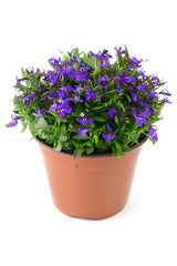 flowerpot of blue Lobelia flower on isolated white background
