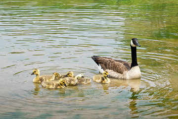 Swimming Canadian geese with goslings on the pond