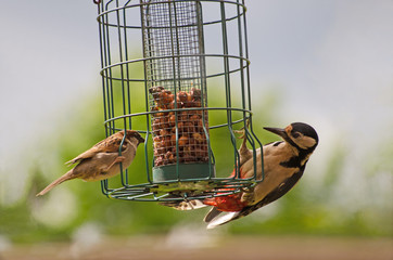 Female Woodpecker sharing some peanuts from a bird feeder