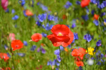 Fototapete - Grußkarte - Blumenwiese - Wildblumen - Sommerwiese