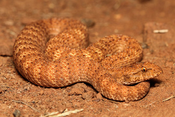 The desert death adder is a species of snake native to Australia and is one of the most venomous land snakes in the world. The desert death adder is under threat due to the destruction of habitat.