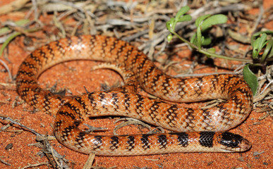 Brachyurophis is a genus of elapid snakes known as shovel-nosed snakes, so named because of their shovel-nosed snout which is used to burrow. The genus has seven recognized species.