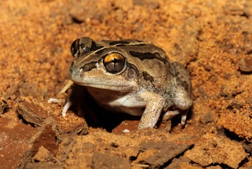 The Daly Waters frog is a species of frog in the Hylidae family. It is endemic to Australia. Its natural habitats are subtropical or tropical dry lowland grassland and intermittent freshwater marshes.