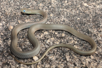 The yellow-faced whip-snake is a species of snake in the Elapidae family, a family containing many dangerous snakes. It is endemic to Australia. A long thin snake with a narrow head.