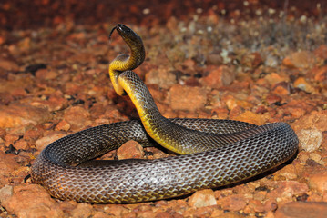 The inland taipan, also commonly known as the western taipan, the small-scaled snake, or the fierce snake, is an extremely venomous snake of the taipan genus.
